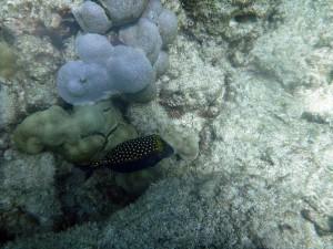 Male trunkfish